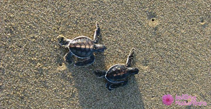 Baby turtles at Sukamade beach
